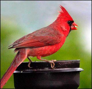 1248-male-cardinal-practice[1]