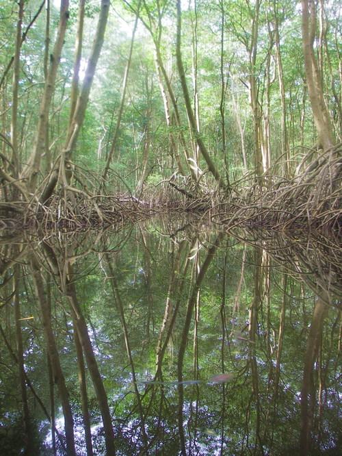 Caroni Swamp 1